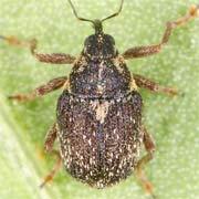 Oprohinus consputus