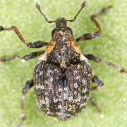 Pelenomus canaliculatus