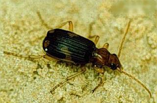 Pheropsophus aequinoctialis