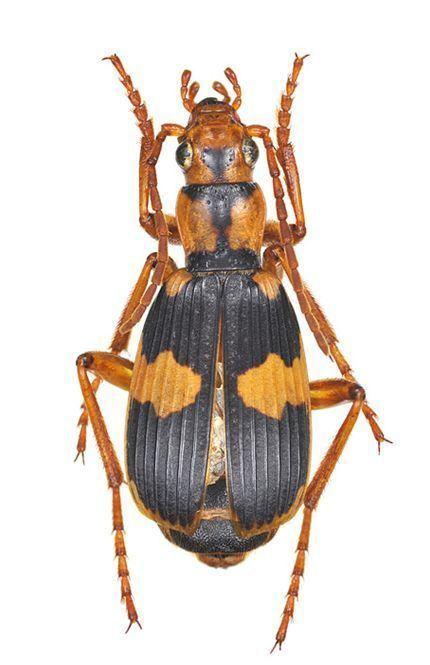 Pheropsophus jessoensis
