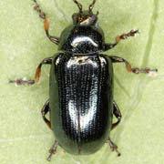 Phratora tibialis