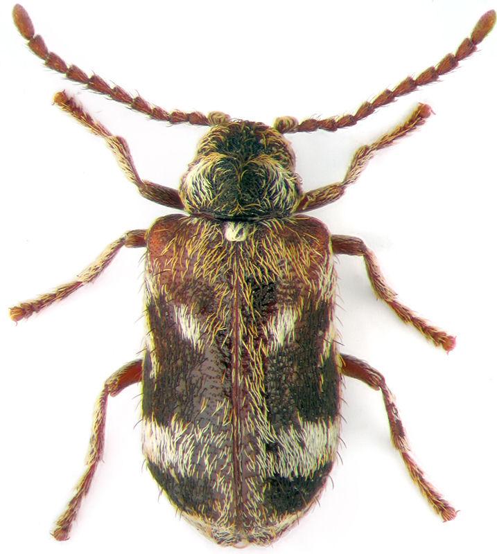 Ptinomorphus rosti Pic