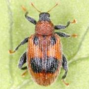 Rhynchaenus alni