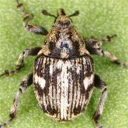 Thamiocolus signatus