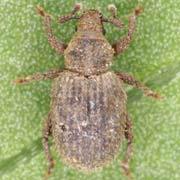 Trachyphloeus asperatus