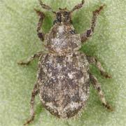 Trachyphloeus spinimanus