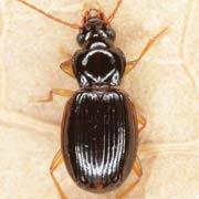 Trechus pilisensis