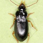 Trichotichnus laevicollis