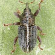 Tychius lineatulus