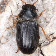 Xyletinus pectinatus