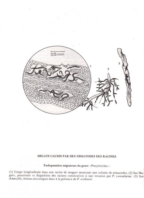 Pratylenchus penetrans 5670