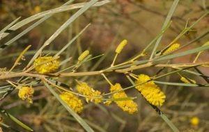 Acacia adsurgens