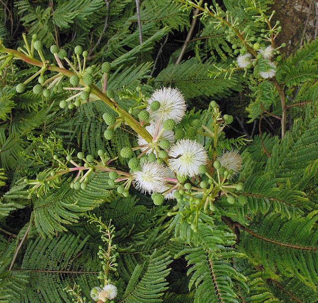 Acacia angustissima