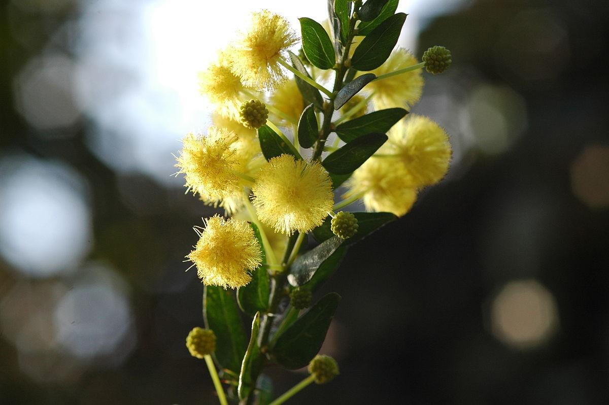Acacia armata