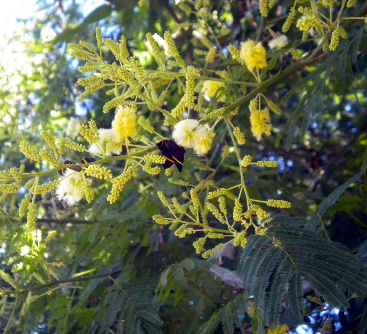 Acacia bonariensis
