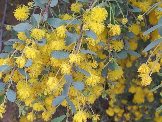 Acacia brachybotrya