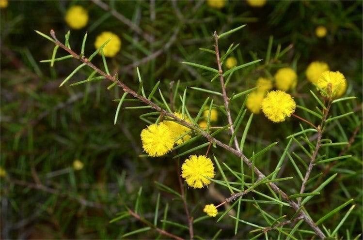 Acacia brownii