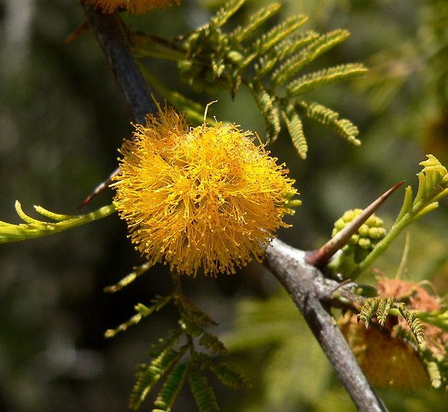 Acacia cavenia