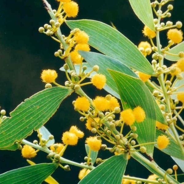 Acacia complanata