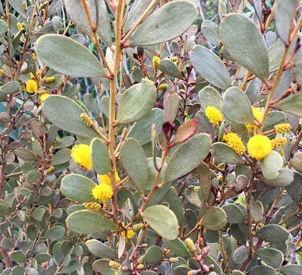 Acacia craspedocarpa