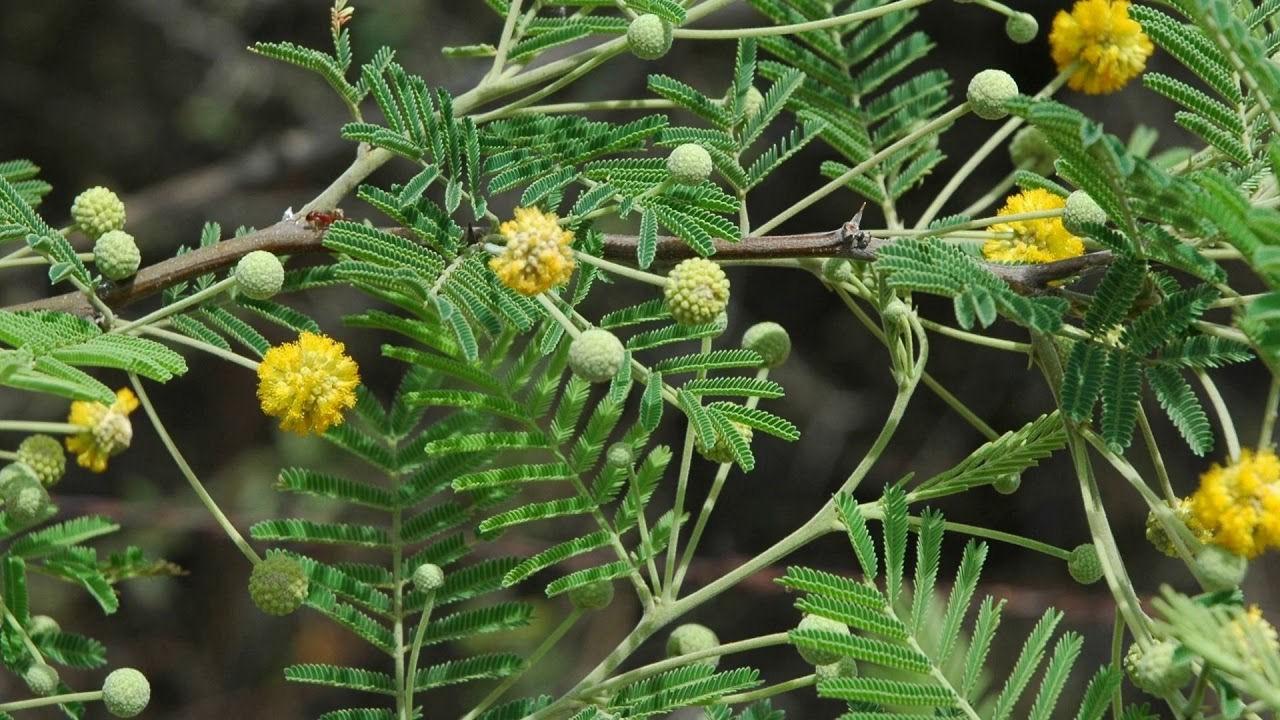 Acacia cuthbertsonii