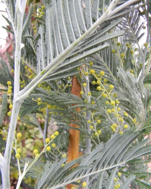 Acacia dealbata innesto