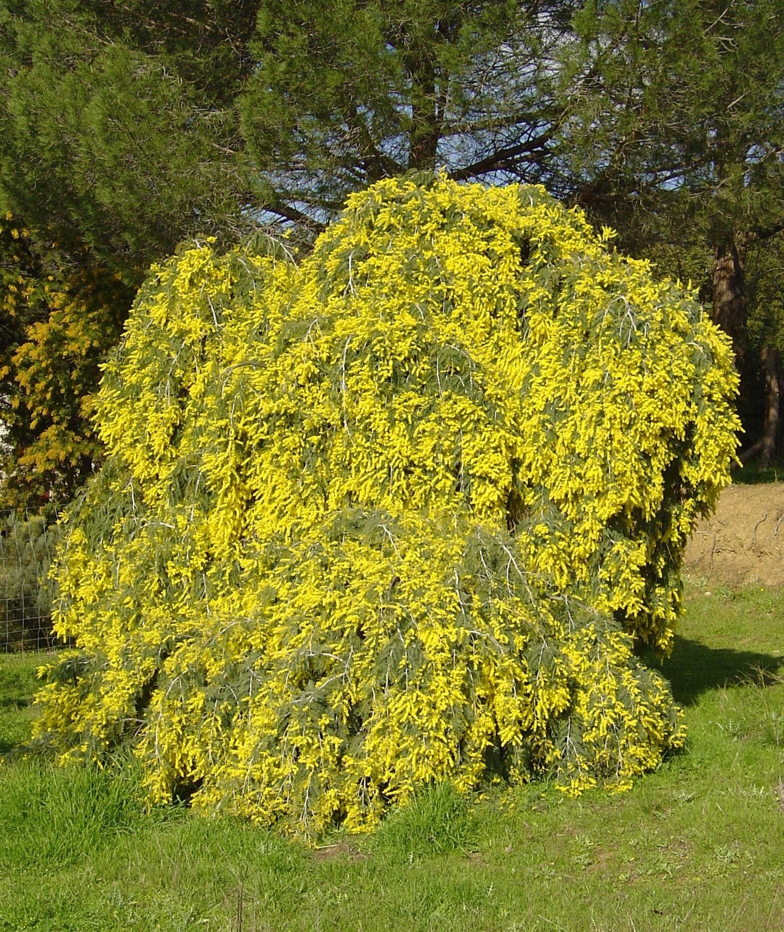Acacia dealbata pendula