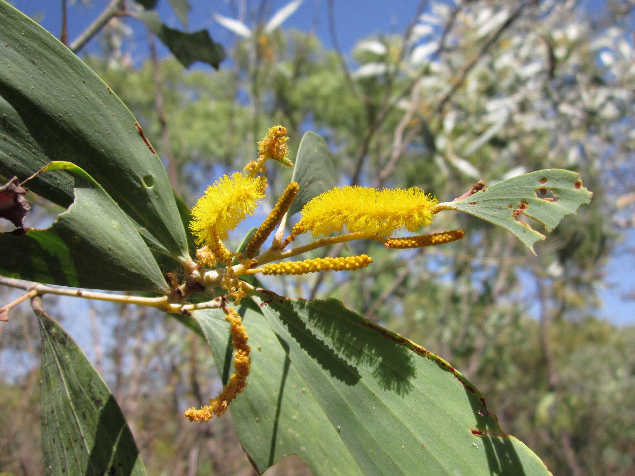 Acacia difficilis