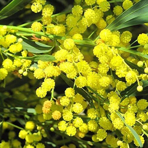 Acacia floribunda lisette