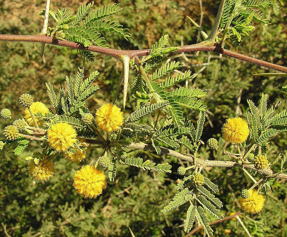 Acacia fornesiana opoponax
