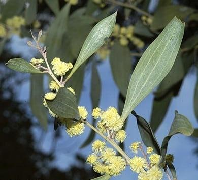 Acacia frigescens