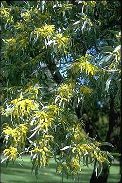 Acacia glaucescens