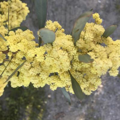 Acacia retinodes glauca