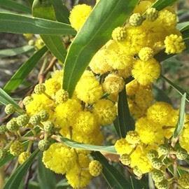 Acacia retinodes lisette
