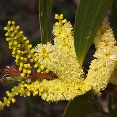 Acacia sophorae