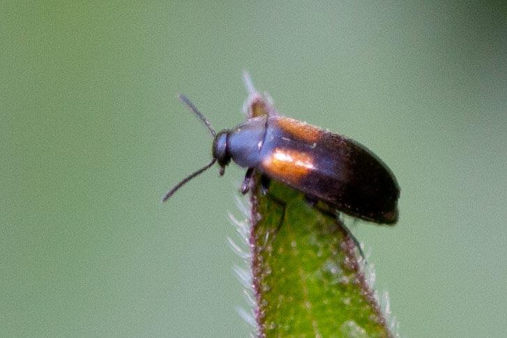 Anaspis fasciata 1