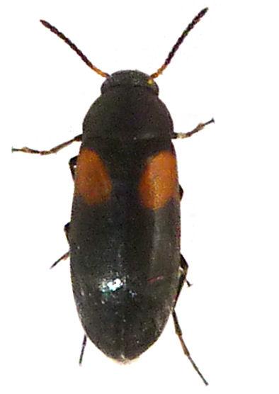 Anaspis fasciata 2