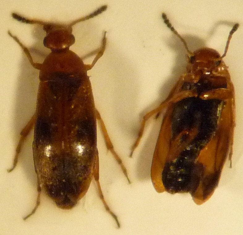 Anaspis maculata 10