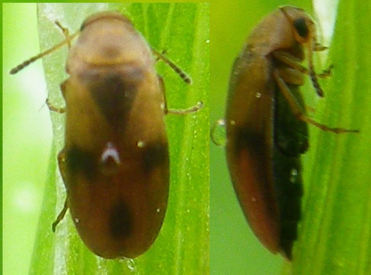 Anaspis maculata 3