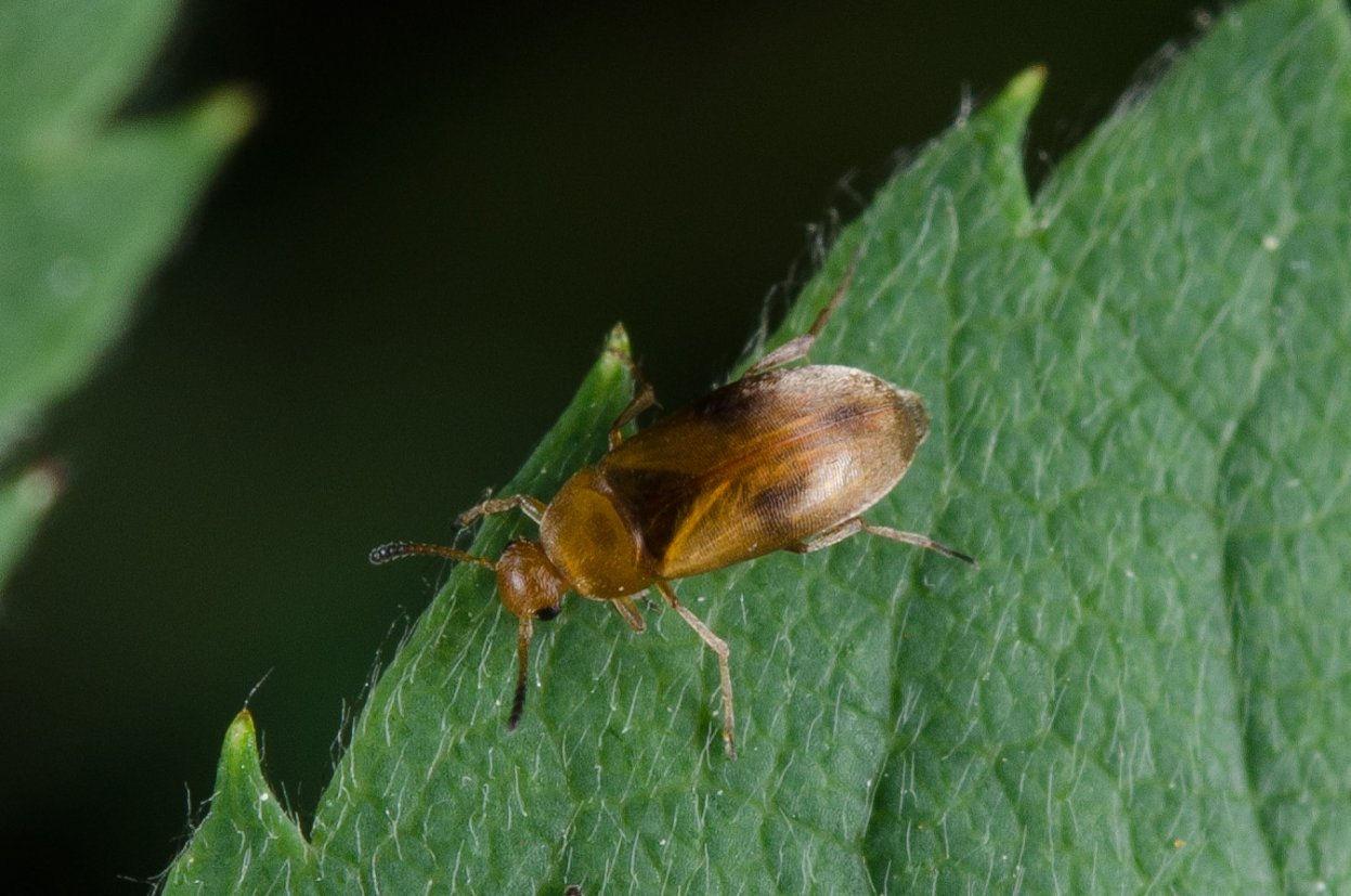 Anaspis maculata 4