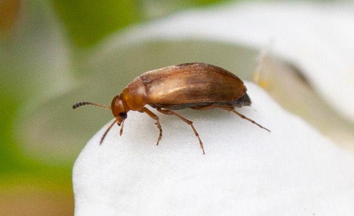 Anaspis maculata 9