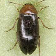 Anaspis ruficollis