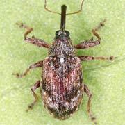 Anthonomus humeralis