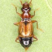 Anthophagus bicornis