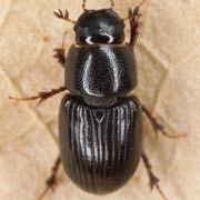 Aphodius coenosus