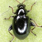 Aphthona violacea