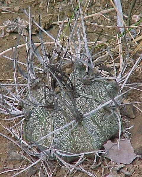 Astrophytum capricorne v. crasissipinum