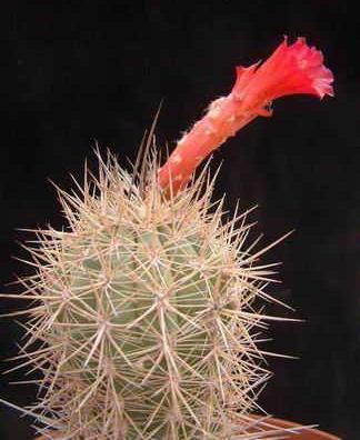 Borzicactus (Arequipa) soehrensii Dscf2423