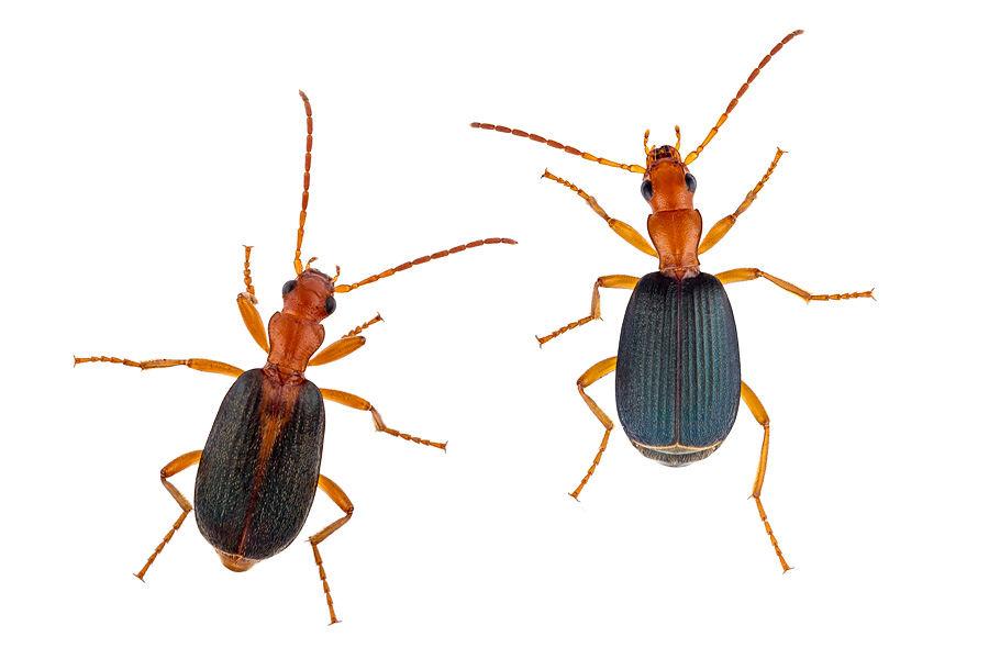Brachinus berytensis
