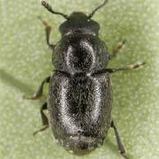 Brachypterus glaber